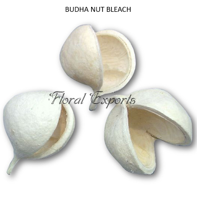 Budha Nut Bleah Loose - Bulk Budha Nut Wholesale Supplies