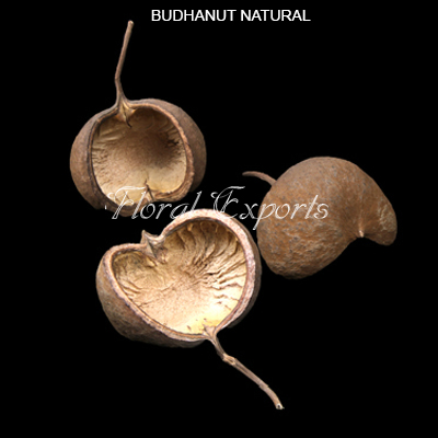 Budha Nut Natural Loose - Bulk Dried Floral Wholesale Supplies