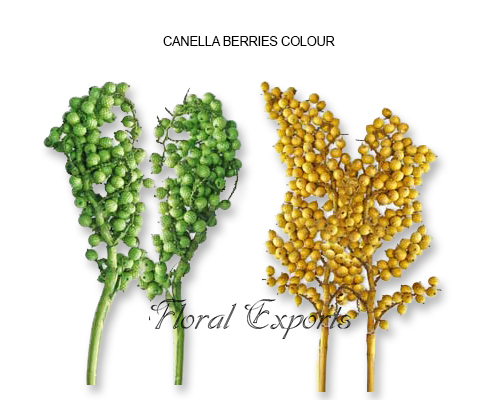 Canella Berries Colors - Bulk Canella Berries wholesale Supplies