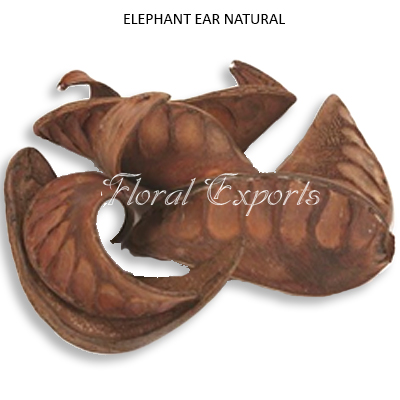 Elephent Ear Natural