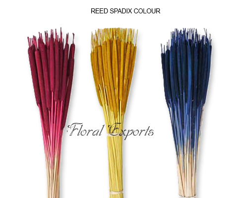 Reed Spadix Colour - Bulk Dried Flowers Supplies
