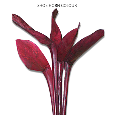 Shoe Horn Colour - Wholesale Dried Flowers Supplies