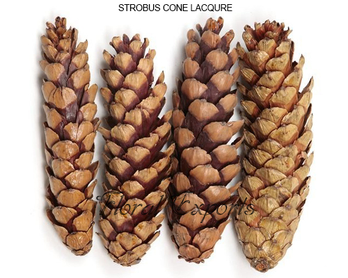Strobus Cone Lacquer Loose