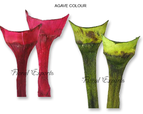 Agave Medium Colour