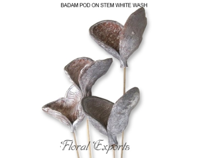 Badam Pod White Wash - Frosted