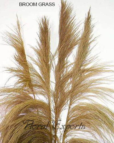 Broom Grass Natural - Tall Dried Grass Bundles Wholesale