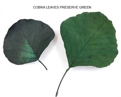 Cobra Leaves Preserve Green